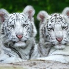 4 Month Old White Bengal Tiger (Not Albino)