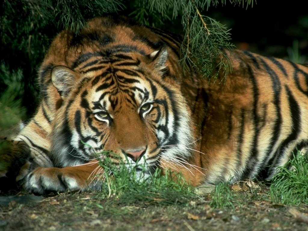 tiger wallpapers (14)