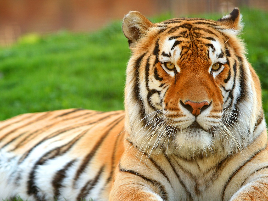 tiger wallpapers (17)
