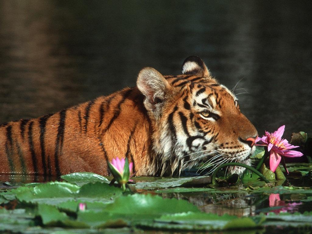 25+ best tiger wallpapers for desktop