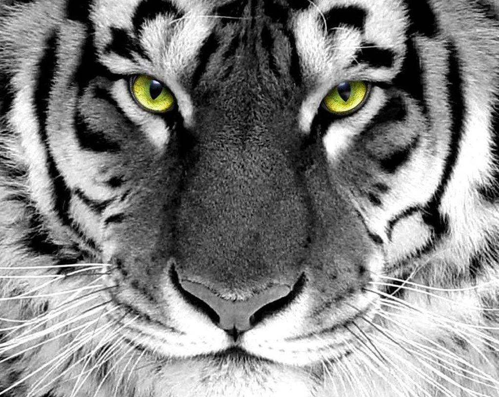 tiger wallpapers (25)