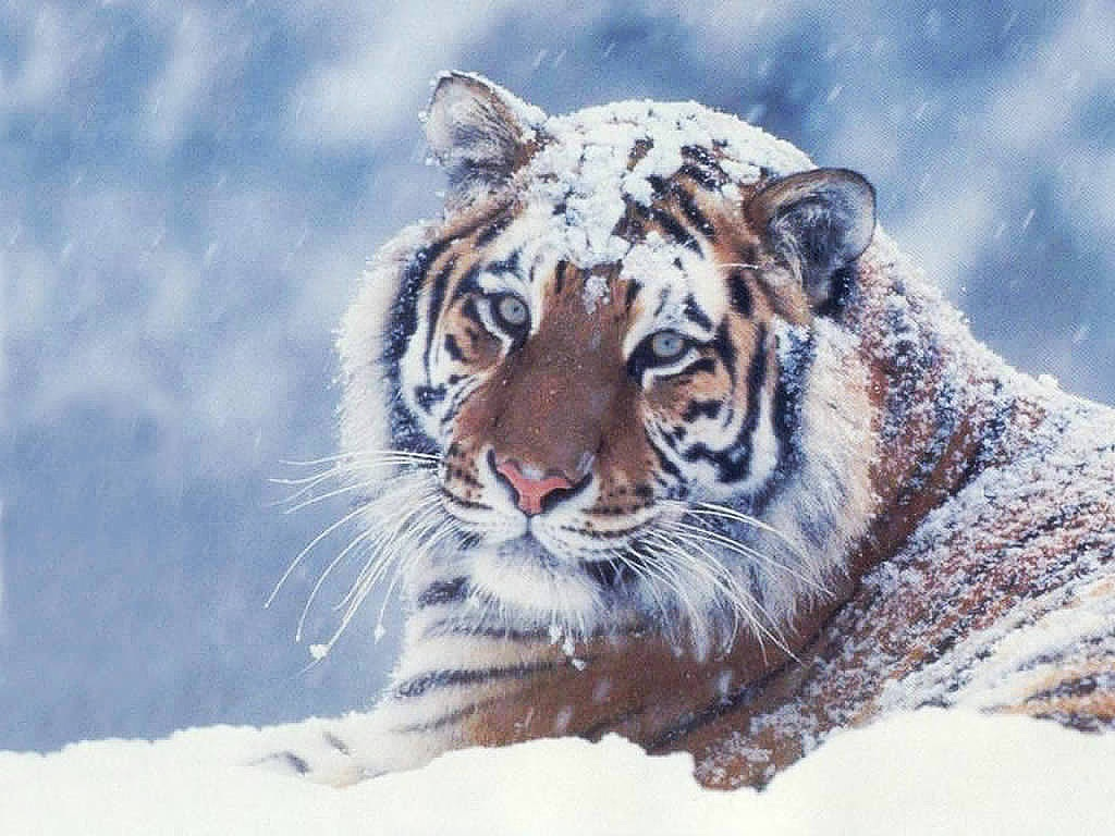 tiger wallpapers (26)