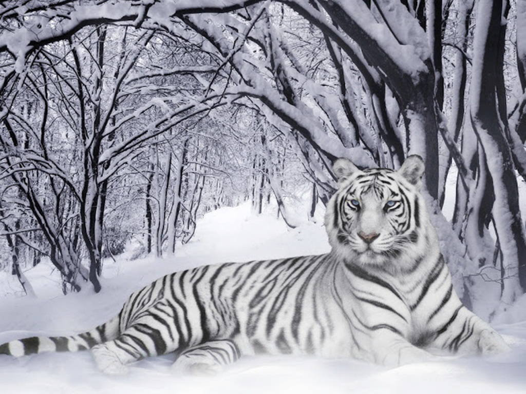 tiger wallpapers (27)