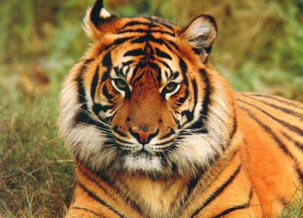 tiger wallpapers (28)