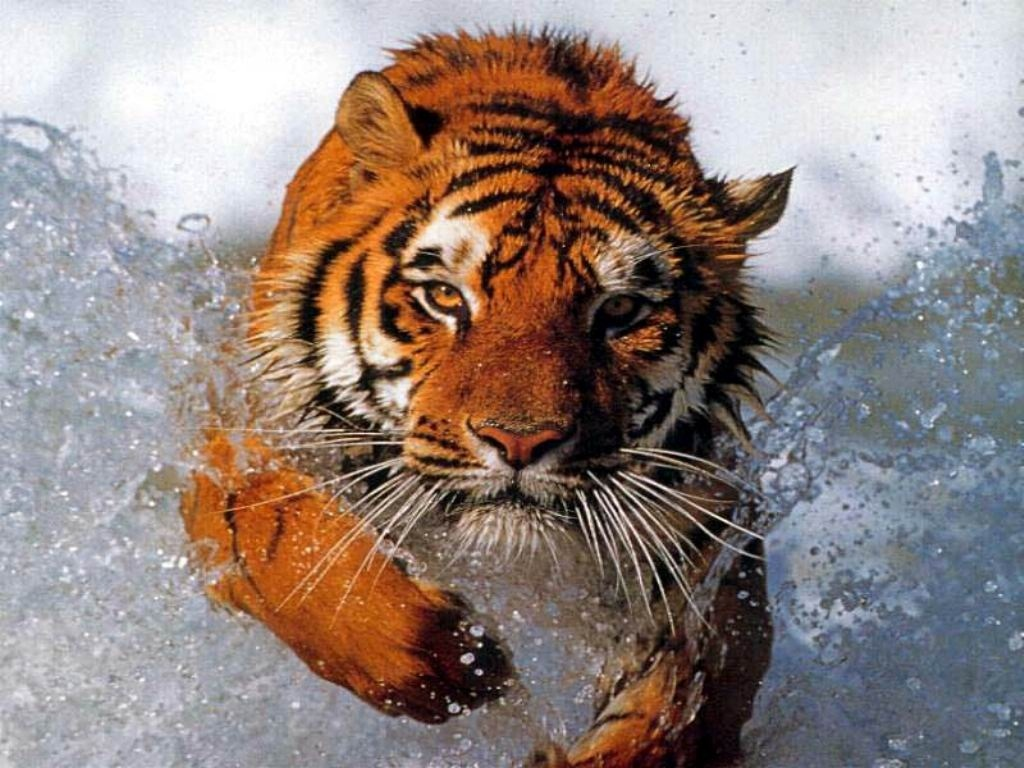 tiger wallpapers (4)