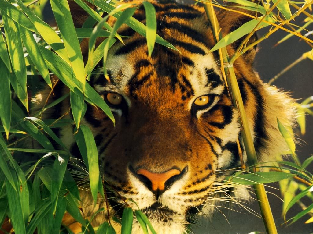 tiger wallpapers (5)