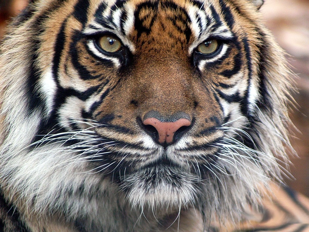 tiger wallpapers (7)