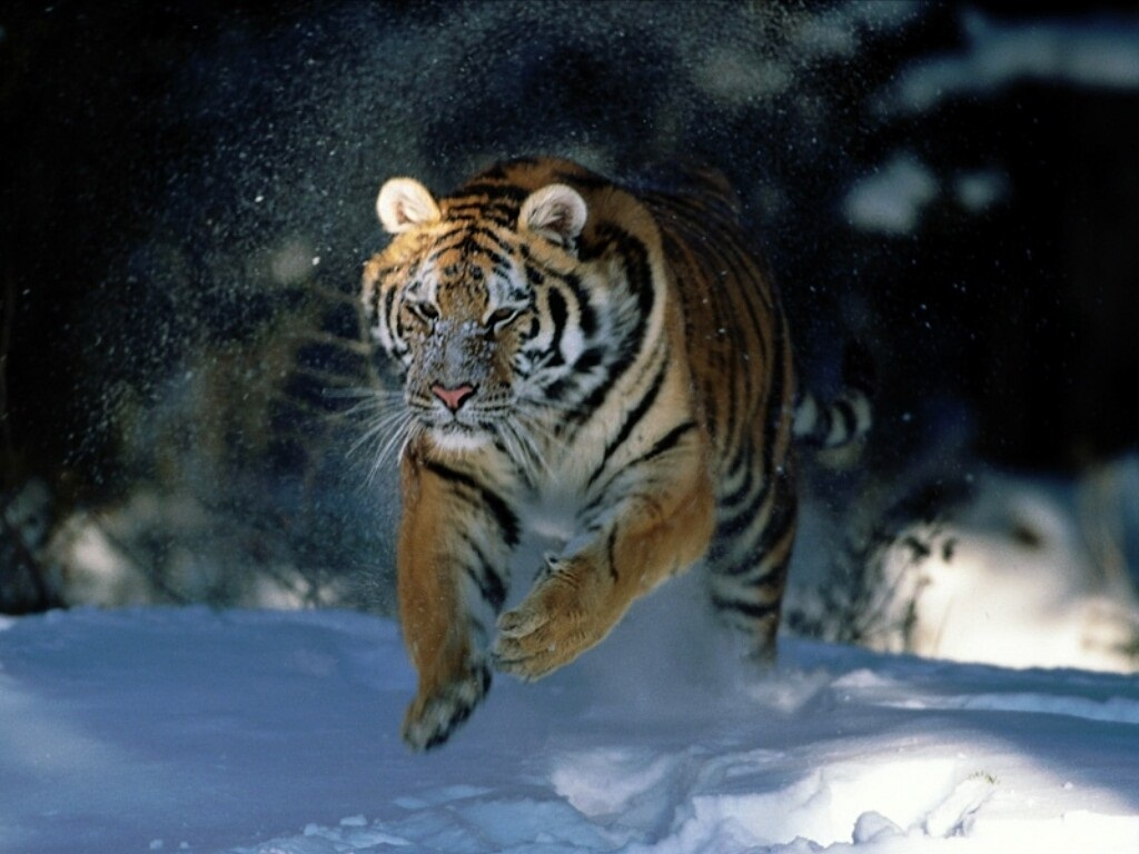 tiger wallpapers (9)